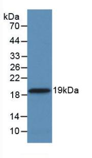 Monoclonal Antibody to Cyclophilin A (CYPA)