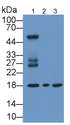 Monoclonal Antibody to Cyclophilin A (CYPA)