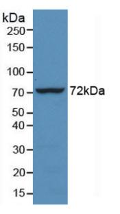 Monoclonal Antibody to Heat Shock 70kDa Protein 1 Like Protein (HSPA1L)