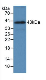 Monoclonal Antibody to Heat Shock 70kDa Protein 1A (HSPA1A)