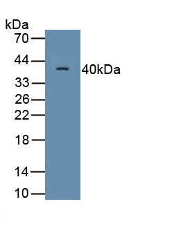Monoclonal Antibody to Motility Related Protein (MRP1)