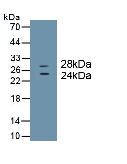 Monoclonal Antibody to Cluster Of Differentiation 8a (CD8a)