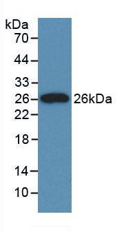 Monoclonal Antibody to Clusterin (CLU)