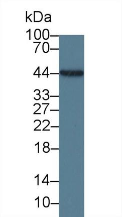 Monoclonal Antibody to Interleukin 19 (IL19)