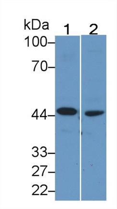 Monoclonal Antibody to Beta Actin (ACTB)