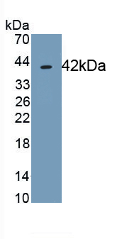 Monoclonal Antibody to Tetraspanin 30Cluster of Differentiation 63 (CD63)