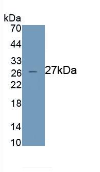 Monoclonal Antibody to Azurocidin (AZU)