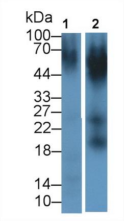 Monoclonal Antibody to Nectin 2 (NECTIN2)