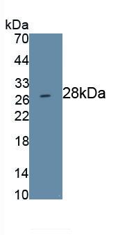 Monoclonal Antibody to Prominin 1 (PROM1)