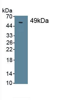 Monoclonal Antibody to Surfactant Protein C (SP-C)