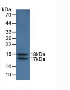 Monoclonal Antibody to Vascular Endothelial Growth Factor 121 (VEGF121)