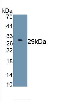 Monoclonal Antibody to Forkhead Box P3 (FOXP3)