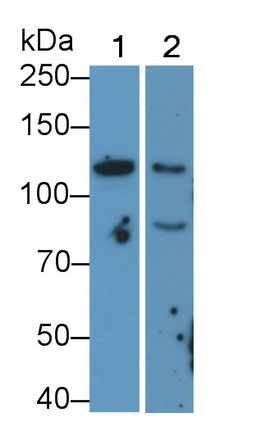 Monoclonal Antibody to Cluster Of Differentiation 34 (CD34)