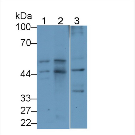 Monoclonal Antibody to Pigment Epithelium Derived Factor (PEDF)