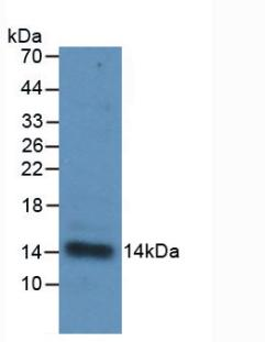 Monoclonal Antibody to Interleukin 33 (IL33)