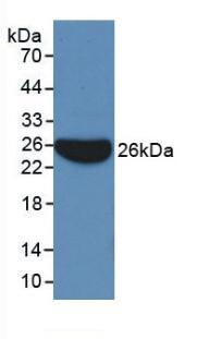 Monoclonal Antibody to Apolipoprotein B (APOB)