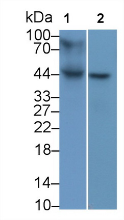 Monoclonal Antibody to Major Histocompatibility Complex Class I B (MHCB)