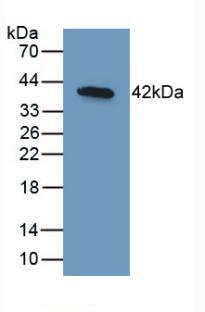 Monoclonal Antibody to Bone Morphogenetic Protein 10 (BMP10)