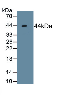 Monoclonal Antibody to Activin A Receptor Type II A (ACVR2A)