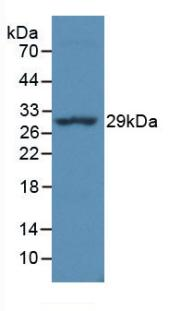 Monoclonal Antibody to HLA Class II Histocompatibility Antigen, DR Alpha Chain (HLA-DRA)