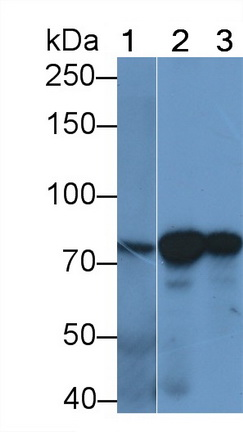 Monoclonal Antibody to Heat Shock 70kDa Protein 5 (HSPA5)