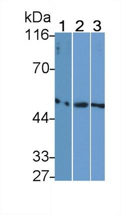 Monoclonal Antibody to Fibrinogen Gamma (FGg)