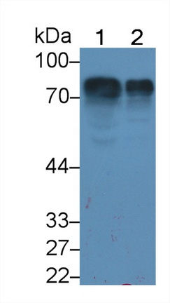 Monoclonal Antibody to Histidine Rich Glycoprotein (HRG)