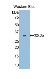Monoclonal Antibody to Reelin (RL)