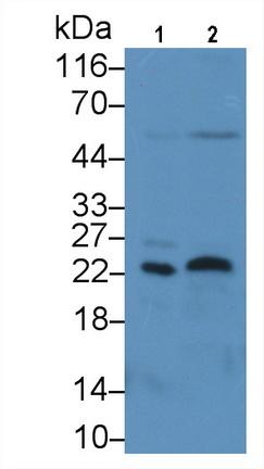 Monoclonal Antibody to Fibroblast Growth Factor 13 (FGF13)