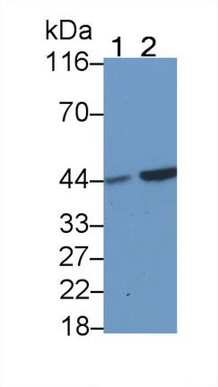 Monoclonal Antibody to Casein Kinase 1 Delta (CSNK1d)