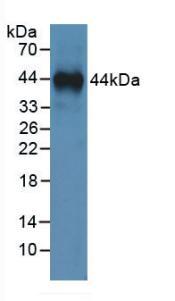 Monoclonal Antibody to Annexin A1 (ANXA1)