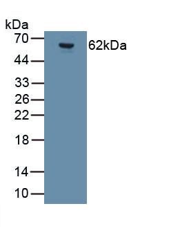 Monoclonal Antibody to Glutamate Receptor, Ionotropic, AMPA 2 (GRIA2)