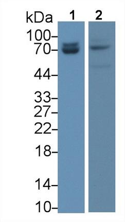 Monoclonal Antibody to Lamin A/C (LMNA)