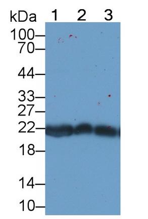 Monoclonal Antibody to Peroxiredoxin 2 (PRDX2)