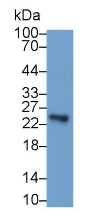 Monoclonal Antibody to Sclerostin Domain Containing Protein 1 (SOSTDC1)