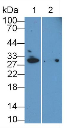 Monoclonal Antibody to Microtubule Associated Protein RP/EB Family, Member 1 (MAPRE1)