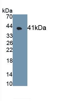 Monoclonal Antibody to G Protein Coupled Receptor 35 (GPR35)