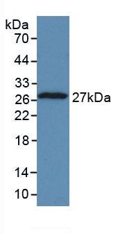 Monoclonal Antibody to Tumor Protein, Translationally Controlled 1 (TPT1)
