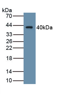 Monoclonal Antibody to Wingless Type MMTV Integration Site Family, Member 4 (WNT4)