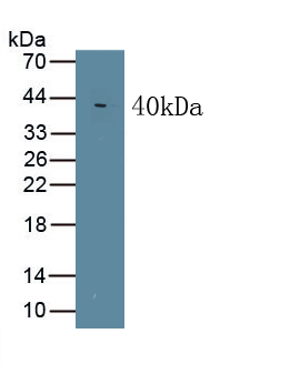 Monoclonal Antibody to Wingless Type MMTV Integration Site Family, Member 5A (WNT5A)