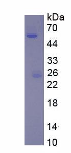 Native Immunoglobulin G1 (IgG1)