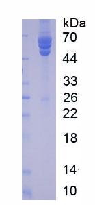 Native Fibrinogen (FG)