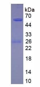 Native Immunoglobulin G4 (IgG4)