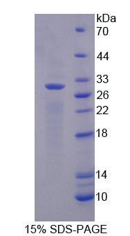 Native Myoglobin (MYO)