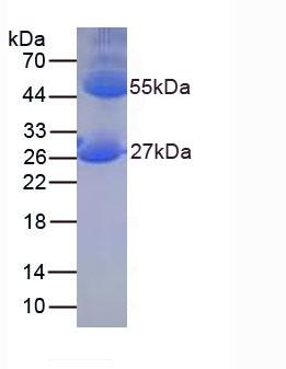 Native Immunoglobulin G (IgG)