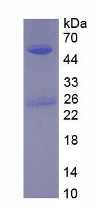 Native Immunoglobulin G2 (IgG2)