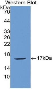 Polyclonal Antibody to Angiogenin (ANG)