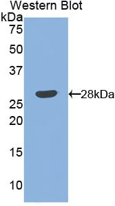 Polyclonal Antibody to Angiopoietin 1 (ANGPT1)