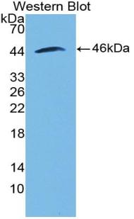 Polyclonal Antibody to Bone Morphogenetic Protein 2 (BMP2)
