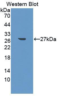 Polyclonal Antibody to Ciliary Neurotrophic Factor (CNTF)